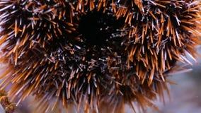 Denny anemon wśrodku akwarium zbiory