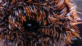 Denny anemon wśrodku akwarium zbiory wideo
