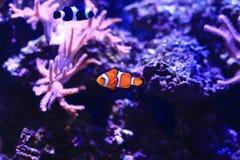 Denny anemon w akwarium obrazy stock