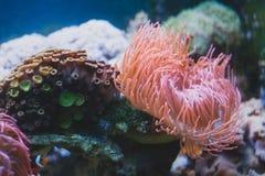 Denny anemon w akwarium i zdjęcie royalty free