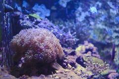 denny anemon w rybim zbiorniku obraz stock