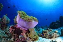 Denny anemon w tropikalnej rafie koralowa fotografia royalty free