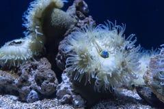 Denny anemon w zmroku - błękitne wody akwarium Morskiego życia tło zdjęcie royalty free