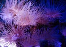 Denny anemon w zmroku - błękitne wody akwarium Tropikalny morskiego życia tło obraz stock