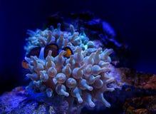Denny anemon w zmroku - błękitne wody akwarium Tropikalny morskiego życia tło zdjęcia stock