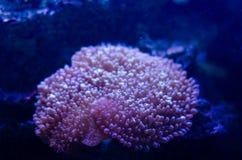 Denny anemon w zmroku - błękitne wody akwarium Tropikalny morskiego życia tło zdjęcia royalty free