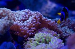 Denny anemon w zmroku - b??kitne wody akwarium Tropikalny morskiego ?ycia t?o obrazy royalty free