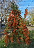 Denny Buckthorn pełno jagody przy jesień czasem, zamyka up Obrazy Royalty Free