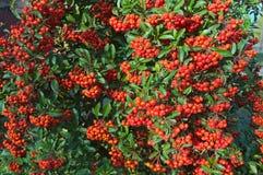 Denny Buckthorn pełno jagody przy jesień czasem, zamyka up Zdjęcia Royalty Free