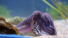 Denny cuttlefish zakrywają jaskrawymi kolorami w w górę, siedzący na dnie morskim, otaczającym gałęzatką zdjęcie wideo