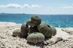 Denny czesak łuska na skale z morzem w tle Obraz Stock