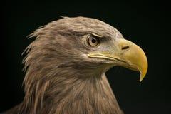 Denny Eagle Zdjęcie Stock