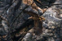 Denny Eagle w locie zdjęcia royalty free