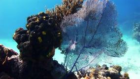 Denny fan, gorgonian koral w Bahamas refuje zdjęcie wideo