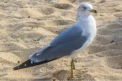 Denny frajer na plaży Zdjęcia Stock