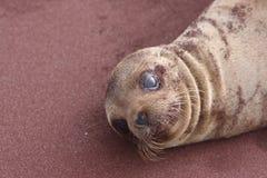 Denny Galapagos lew Zdjęcia Royalty Free