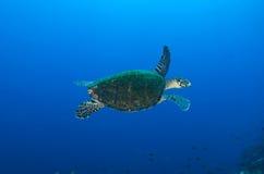 denny hawksbill żółw Obraz Stock