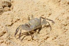Denny krab biega na piasku blisko dennego brzeg zdjęcia royalty free