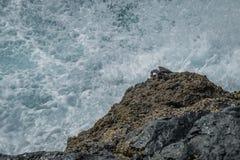 Denny krab na skale Obrazy Royalty Free