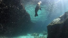 Denny lew bawić się z otoczakiem podwodnym zbiory wideo