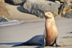 Denny lew pozuje na plaży Obrazy Royalty Free