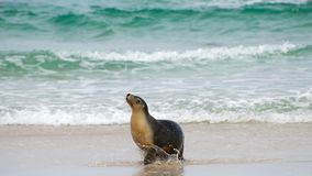 Denny lew przy kangur wyspą Australia Fotografia Royalty Free