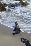 Denny lew przy plażą los angeles Jolla Kalifornia zdjęcia stock