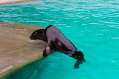 Denny lew w basenie obraz royalty free