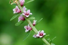 Denny milkwort, Lysimachia maritima Obrazy Royalty Free