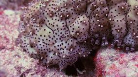 Denny ogórek wśród korala w poszukiwaniu jedzenia Makro- zbiory