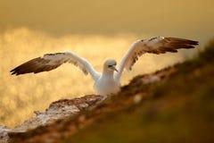 Denny ptak z otwartym skrzydłem, piękny wieczór światło na falezie Latający denny ptak, Północny gannet, Sula bassana z zmrokiem  Fotografia Stock