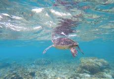 Denny tortoise bierze oddech od wody powierzchni Snorkeling z morskim zwierzęciem Fotografia Stock