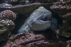 Denny węgorz wśród skał pod wodą Zdjęcia Royalty Free