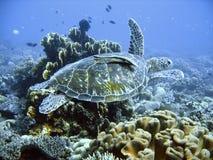 denny zielonego żółwia Obrazy Royalty Free