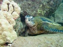 denny zielonego żółwia Obraz Royalty Free