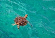 denny zielonego żółwia Fotografia Royalty Free