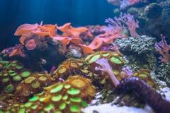 Dennych anemonów piękny podwodny w oceanie z dennym korala ogródem Zdjęcie Royalty Free