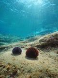 Dennych czesaków podwodny morze śródziemnomorskie Fotografia Stock