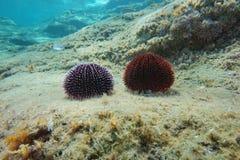 Dennych czesaków Sphaerechinus granularis Śródziemnomorscy Zdjęcie Stock