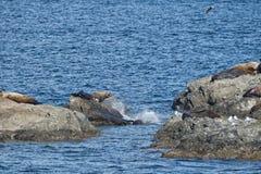 Dennych lwów foka na skałach Fotografia Royalty Free