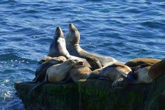 Dennych lwów grupowy lying on the beach na skały up zakończeniu Zdjęcia Royalty Free