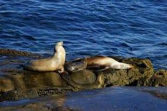 Dennych lwów rodzinny odpoczywać na seashore kołysa Obrazy Stock