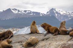 Dennych lwów wyspa - Beagle kanał, Ushuaia, Argentyna Obrazy Stock
