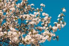 Denominou belamente os ramos da flor da pera coloridos no esquema análogo no fundo do céu azul fotos de stock royalty free