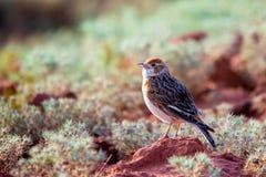 denpåskyndade lärka- eller Alaudaleucopteraen sitter på jordning fotografering för bildbyråer