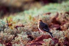 denpåskyndade lärka- eller Alaudaleucopteraen sitter på jordning arkivfoto
