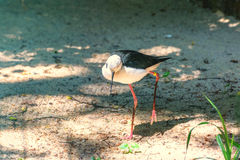 denpåskyndade styltan med långa rosa färger lägger benen på ryggen, gör länge den svarta räkningen, det vita huvudet tunnare Arkivfoto