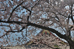 Denpo-in in Asakusa during cherry blossom on royalty free stock photos