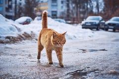 denröda katten går på våta asfalt och pölar arkivfoton