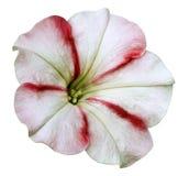 denröda petuniablomman på vit isolerade bakgrund med den snabba banan inga skuggor closeup Royaltyfri Bild